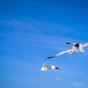 Wild gulls chasing the food. We spent an hour playing to get the timing right !